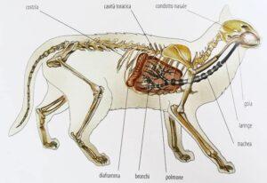 risPETtiamoli apparato-respiratorio-gatto-polmoni-naso-malattie-300x206 Il naso e l'olfatto del gatto In evidenza Mondo Gatto