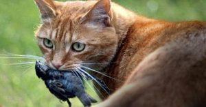 risPETtiamoli preda4-300x157 Perchè un gatto domestico va a caccia? Mondo Gatto