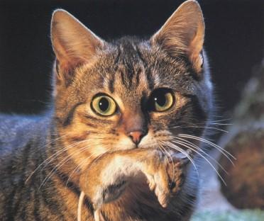 risPETtiamoli preda_1 Perchè un gatto domestico va a caccia? Mondo Gatto